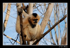 White-cheeked gibbon - Female (tlmartinsr) Tags: nashville tennessee nashvillezoo hylobates nashvilletennessee whitecheekedgibbon animalkingdomelite hylobatesleucogenys