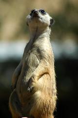 Pondering the Meerkat Mysteries of Life (johnwkillinger) Tags: california park wild animal closeup standing mammal meerkat nikon san sandiego d70s diego 300mm staring wildanimalpark wondering alert pondering daydreaming