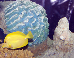 Brain Coral and Yellow Tang (Floater Ya-Ya) Tags: fish yellow coral bumpy lumpy yellowtang adventureaquarium msh0407 msh04077