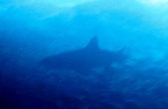 backlit shark (bluewavechris) Tags: ocean life blue sea water animal hawaii shark marine underwater diving maui snorkeling creature