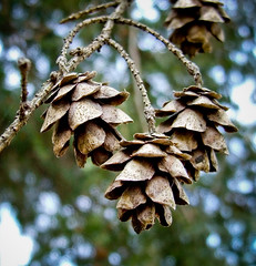 Hanging and Dry (mightyquinninwky) Tags: dead pod dof bokeh 5 pinecone pow superbmasterpiece 1on1bokehdofphotooftheday 1on1bokehdofphotoofthedayapril2007 jasonpresser 11223344556677