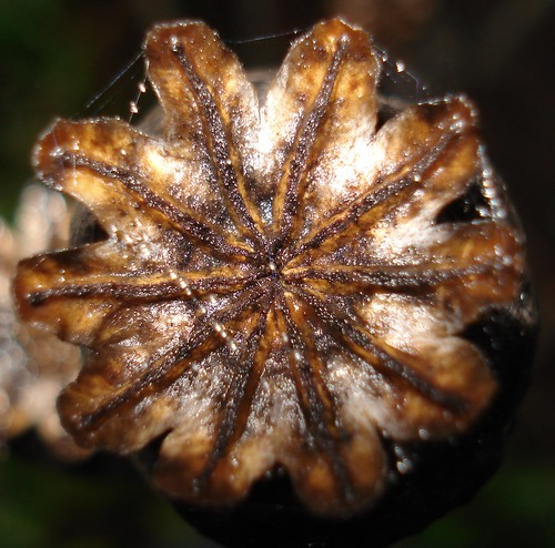 A spiders footprint - Papaver somniferum capsule