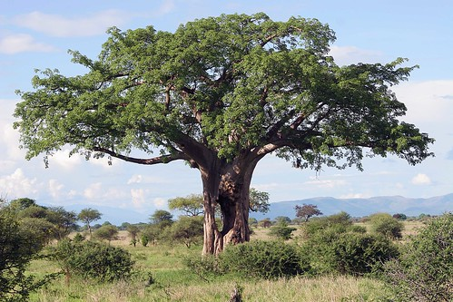 Hole in the Baobab tree
