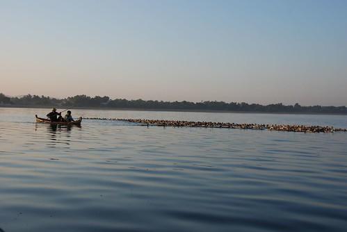 Herd of Ducks