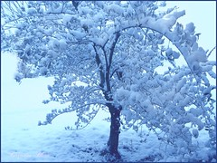 Olive-tree in snow (Turquoise Bleue) Tags: winter snow france tree nature spectacular flickr turquoise postcard hiver country olive 2006 neige arbre drome soe olivier olivetree cartedevoeux cartepostale drme ilovemycountry interestingness296 i500 turquoisebleue mywinners mywinner abigfave shieldofexcellence anawesomeshot liveinfrance
