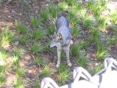 busch2 013 (maondrus) Tags: park animal wolf