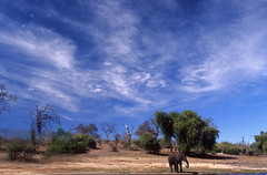 BOTSUWANA (BoazImages) Tags: africa wild sky elephant hot nature topv111 clouds forest river skyscape ilovenature drink african wildlife drinking chobe botsuwana