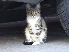 Kogarah Katz (End of Level Boss) Tags: pet cats cute cat kat feline chat pussy sydney australia domestic gato nsw stray katze mace cath  macska  gatti kot gat koka kedi kass  2007 katt  kissa kttur maka kucing pusa mo     foofoo kat  kais kogarah   pisic