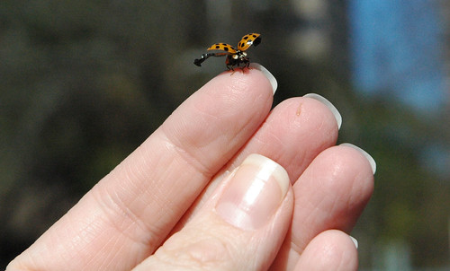 Ladybug on finger about to fly away