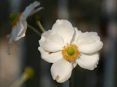 White Japanese Anemone (Kirsten M Lentoft) Tags: white flower closeup anemone momse2600 kirstenmlentoft