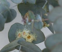 water-anthers (sillydog) Tags: flowers oregon portland cherry 2000 2006 prunusavium botany hillsboro anther 10up3