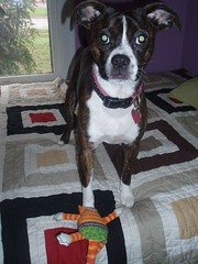 Birthday Toy! (LupineFever) Tags: budgie bostonterrierpitbullmix