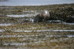 Otter, Lutra lutra, Tostary, nr Kilnian, Mull, Scotland (tim stenton www.TimtheWhale.com) Tags: wild scotland mull lutralutra europeanotter