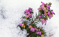 Flowers in Snow (xiaotomjm) Tags: flowers winter flower nature vancouver photoshop landscape scenery flickr scene richmond fujis5200 fujis5600