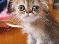 Meg (Karaxatada) Tags: cat golden persian kitten chat gato filhote chaton persa persan