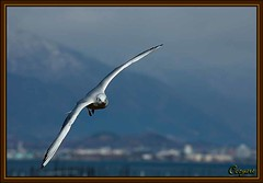 BLACK-HEADED GULL/ (cozyart.kyoto) Tags: blackheadedgull birdinflight lakebiwa shigaprefecture abigfave