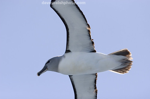 Grey headed mollymawk albatross