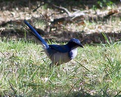 What's that bird? (Mark Zuid) Tags: bird drive pch gaviota scrubjay highway101 restarea pacificcoasthighway latosf