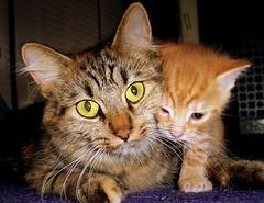 Tenderness (Nicolas Valentin) Tags: cat ginger kitten feline chat soft cut pussycat tenderness aplusphoto