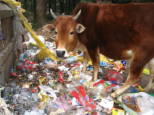 Indian cow eating rubbish
