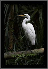 Great Egret (Barbara J H) Tags: nature birds bravo wildlife canon20d australia wetlands qld greategret australiazoo waterbirds whitebird australianbirds australianwildlife ardeaalba beerwah birdsofaustralia featheryfriday specanimal animalkingdomelite wildlifeofaustralia fowlfeatheredfriends barbarajh avianexcellence australiazoowetlands brisbanebirds auselite