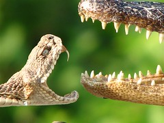 Rattlesnake and alligator (ET Photo Home!) Tags: snake teeth alligator bite fangs rattlesnake
