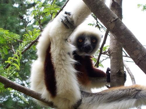 Madagascar, lémurien by luc legay.