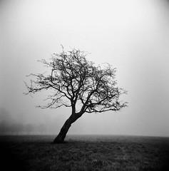 Park tree holga