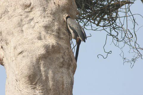 MG Hornbill entering nest (4)