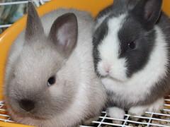 Meet our new Babies (moemoechi) Tags: pet rabbit explore usagi poochie minirabbit challengeyouwinner moepyon ishflickr