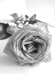 rose (JulesCanon) Tags: flowers bw flower floral rose blackwhite petals fuji petal s7000 flickrchallengegroup