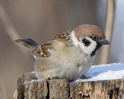 Tree Sparrow by Sergey Yeliseev.