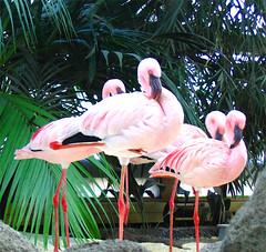 flamingos (ufi_) Tags: zoo flamingo karlsruhe palmen