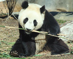 booing it alone....#3 (J. Young Photos) Tags: searchthebest nationalzoo pandas taishan impressedbeauty