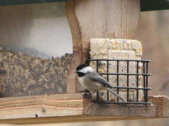 One of Mom's chickadees