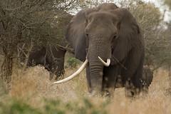 ELEPHANT MATRIARCH (Arno Meintjes Wildlife) Tags: africa wallpaper elephant nature animal bush wildlife ivory safari elephants rsa krugernationalpark krugerpark africanelephant knp loxodontaafricana africanbushelephant specanimal animalkingdomelite arnomeintjes