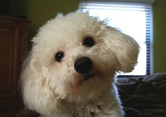 Tender eyes... (FlyNutAA) Tags: cute love sweet joey bichon bichonfrise bolognese whitedogs warmhearted