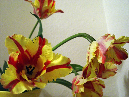 Parrot tulips #3