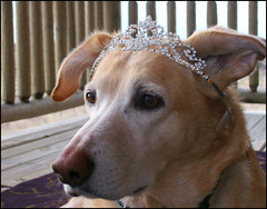 Blue: Queen of Doggies (Laurel714) Tags: blue dog tiara nebraska 5bestdogs yellowlabs ogallala outstandingshots beautifulcapture flickrchallengegroup