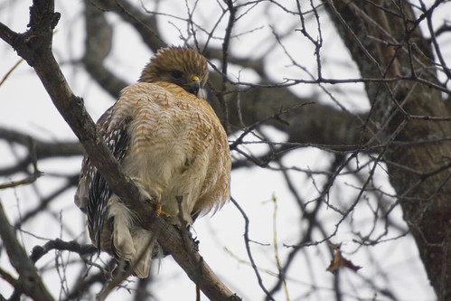 Red Shouldered Hawk 2007
