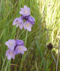 lavendar field flower