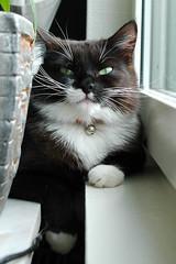 ½ black, ½ white - Split image (vanstaffs) Tags: portrait white black cat european explore domestic tuxedocat prettygirl tussi interestingness394 i500 cc400 cc300 cc200 cc100 cc500 cc600 nikonstunninggallery kissablekat bestofcats impressedbeauty tunafished pet100