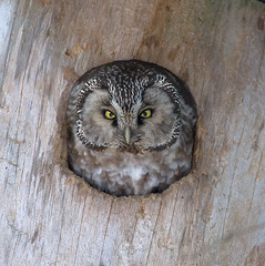 Helmipöllö (mattisj) Tags: bird birds nest explore owl owls nestbox borealowl lintu linnut naturesfinest tengmalmsowl helmipöllö specanimal pönttö avianexcellence pesiä