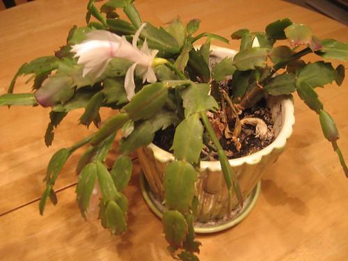 Christmas Cactus?