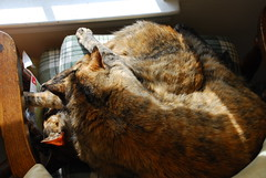 Kitty Lumps (tessler65) Tags: cat ember cinder d80