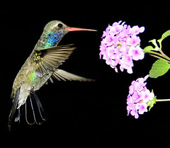 Hummingrbird 2 (Alfredo11) Tags: motion flower color bird birds animals ilovenature hummingbird colibri naturesfinest specanimal animalkingdomelite bokehlicious abigfive anawesomeshot impressedbeauty anawensomeshot superbmasterpiece supermasterpiece flickrdiamond beyonexcellencegroup flikrdiamond