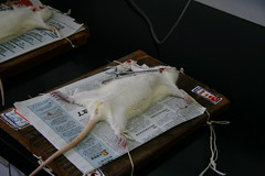 Animal Testing (YY) Tags: test animal mouse science surgery rats laboratory operation animaltesting experiement