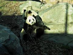 And den I gave my Mommy a hug dis big cuz I wove hewr so much. (osito_tai) Tags: animals smithsonian endangered fonz pandas meixiang taishan washingtonnationalzoo