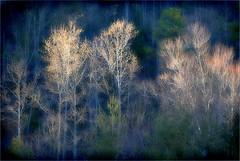 Morning Light: Winter Woods