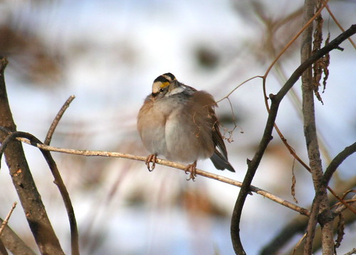 white-throated sparrow 08